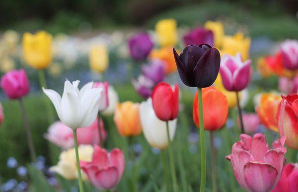 20 mejores tipos de tulipanes que lucirán impresionantes en su jardín