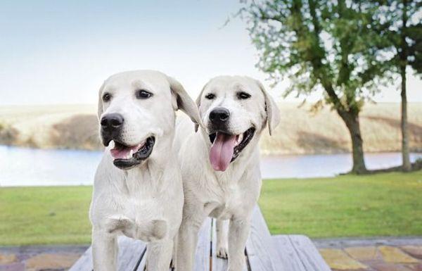 25 mejores razas de perros grandes para amantes de los animales