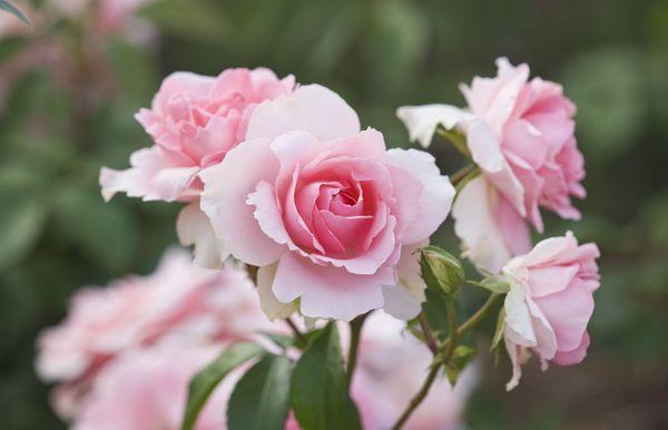 Cómo cultivar rosas a partir de esquejes para plantar en su jardín
