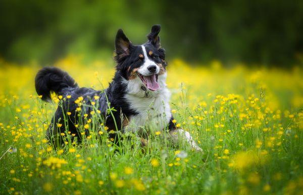 20 най-добри средни породи кучета