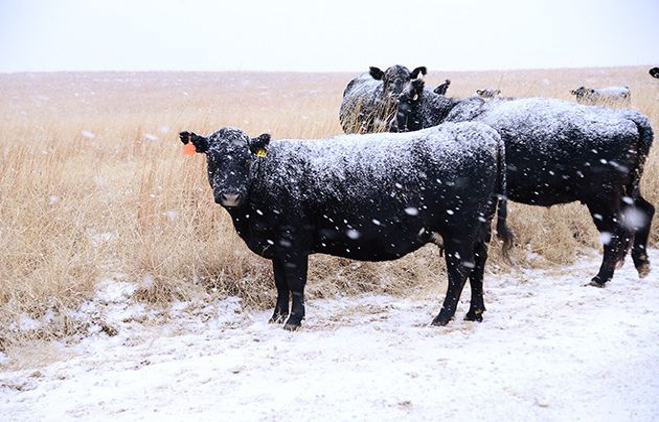 Vacas nevadas, nevadas