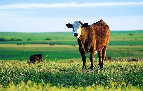 सबसे प्यारी गाय