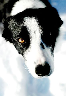 Pionierių šuo